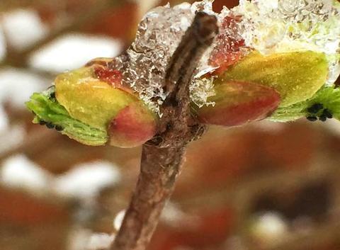 La glace du bourgeon