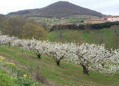 Faune/Flore Bibost 69690 Cerisiers en fleurs