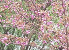 Faune/Flore Meudon 92190 Cerisier du Japon en fleurs