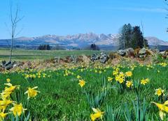 Ciel Mont-Dore 63240 Narcisse dans le Sancy