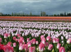 Faune/Flore Jonquieres 84150 Tulipes