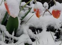 Neige Burdignes 42220 Une tulipe enneigée