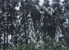 Neige Les Bondons 48400 Des pins sous la neige
