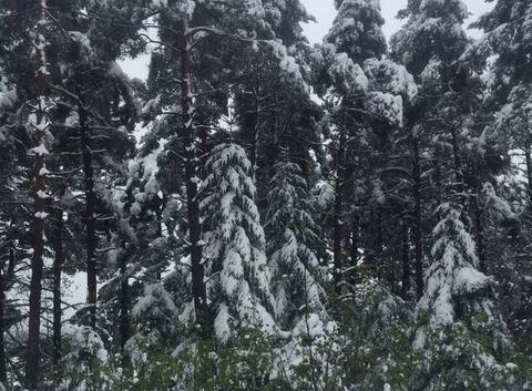 Des pins sous la neige
