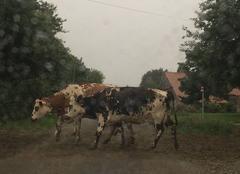 Pluie Frossay 44320 Sale temps pour les bovins
