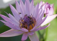 Bangkok Abeilles sur une fleur de lotus