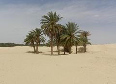 Douz Palmiers à proximité de Douz (Tunisie)