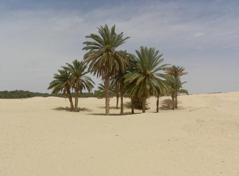 Palmiers à proximité de Douz (Tunisie)