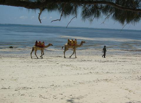 Chameau sur la plage