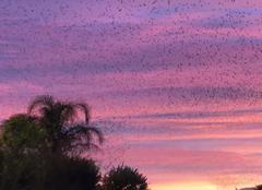 Ciel Nîmes 30000 Nimes rassemblement d oiseaux avant le couché du soleil